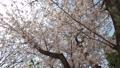 cherry blossom, cherry tree, bloom 77216172