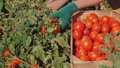 Woman in gloves picking tomatoes from the plants, close-up 77272204