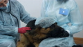 Female veterinarians petting and examining a dog. Dog, clinic, treatment 77275181