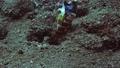 クビアカハゼと砂底の巣穴で「共生」する働き者のコシジロテッポウエビ 77281833