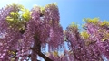 Wisteria flowers swaying in the wind 77310004