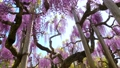 Wisteria flowers swaying in the wind 77310142