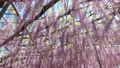 Wisteria flowers swaying in the wind 77310350