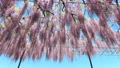 Wisteria flowers swaying in the wind 77310510