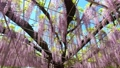 Wisteria flowers swaying in the wind 77312833