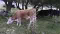 Cattle graze in mountain meadows 77315008
