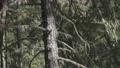 Bearded lichens on Caucasian pine 77315011