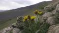 Groundsel in Caucasus 77315012