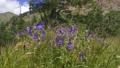 pelargonium in Caucasus 77315014