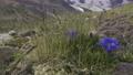 centaury in Caucasus 77315015
