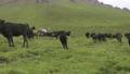 Cattle graze in mountain meadows 77315019