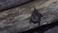 Greater horseshoe bat 77315021