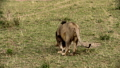 A pride of lions sits on the savannah plains of Africa on safari. 77316567