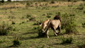 A large lioness stalking herd of African buffalos. 77316568