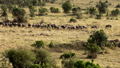 A large lioness stalking herd of African buffalos. 77316569