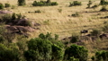 A large lioness stalking herd of African buffalos. 77316570