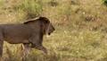 An elderly lioness walking through a savanna 77316571