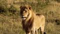 An elderly lioness walking through a savanna 77316572