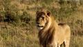 An elderly lioness walking through a savanna 77316573