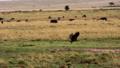Vultures sitting on an animal carcass in a savanna 77316574