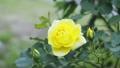 Yellow rose flower 77322074