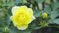 Yellow rose flower 77322075