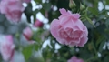 Pink rose flowers 77322076
