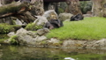 Young chimpanzees sleeping nestling against their mothers 77322077