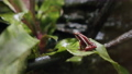 Anthony's poison arrow frog in the forest 77322097