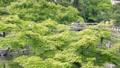 Fresh green maple 77322130