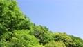 藍天和初夏新綠色風景 77325188