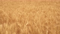 Ripening field of yellow wheat on fertile land. Spikelets of wheat with grain shakes wind. Grain harvest ripens in summer. Agricultural business concept. Environmentally friendly wheat. Growing bread 77347951