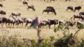 A shot of a group of buffalos and a bird. 77372514