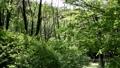 新緑の季節の森 風がそよぐ音 77380571