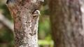 コゲラの巣造り(4K映像) 77391853