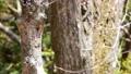 コゲラの巣造り(4K映像) 77391854