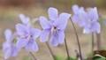 紫羅蘭色 紫羅蘭 花朵 77396156