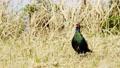 pheasant, bird, birds 77421037