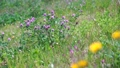 紅三葉 紅三葉草 花朵 77423921