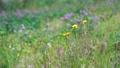 紅三葉 花朵 花 77423922