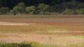 楓樹 紅楓 楓葉 77434158