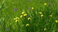 Iris flowers swaying in the wind 77451996