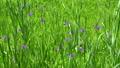 Iris flower 77452115