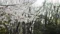 Sakura falling 77455655
