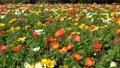Poppy field in full bloom 77476952