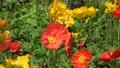 flower garden, flower field, poppy 77476953