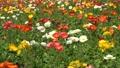 flower garden, flower field, poppy 77476954
