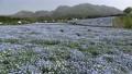 Nemophila field in full bloom and Kuju mountain range (zoom in) 77476958