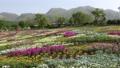 Early summer flower garden and Kuju mountain range (zoom in) 77476960