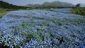 Nemophila field in full bloom and Kuju mountain range (pan) 77476962